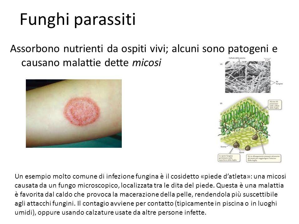 Funghi parassiti Assorbono nutrienti da ospiti vivi; alcuni sono patogeni e causano malattie dette micosi.