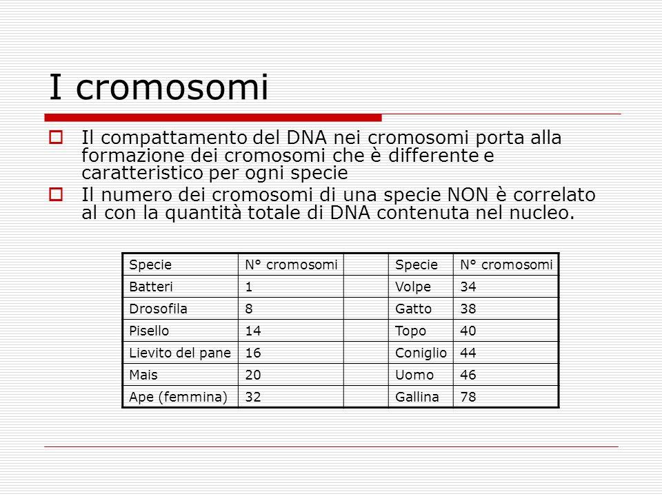I cromosomi Il compattamento del DNA nei cromosomi porta alla formazione dei cromosomi che è differente e caratteristico per ogni specie.