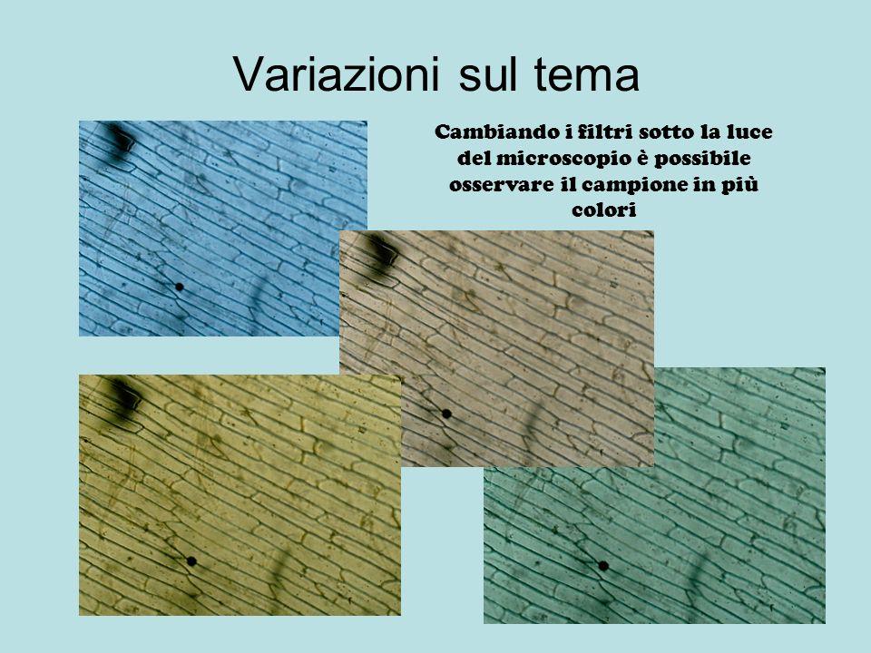 Variazioni sul tema Cambiando i filtri sotto la luce del microscopio è possibile osservare il campione in più colori.
