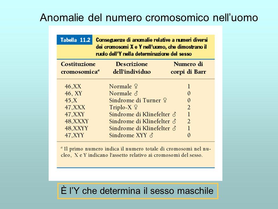 Anomalie del numero cromosomico nell'uomo