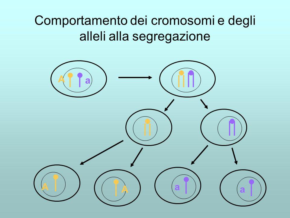 Comportamento dei cromosomi e degli alleli alla segregazione