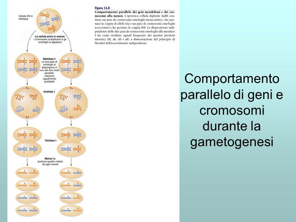 Comportamento parallelo di geni e cromosomi durante la gametogenesi