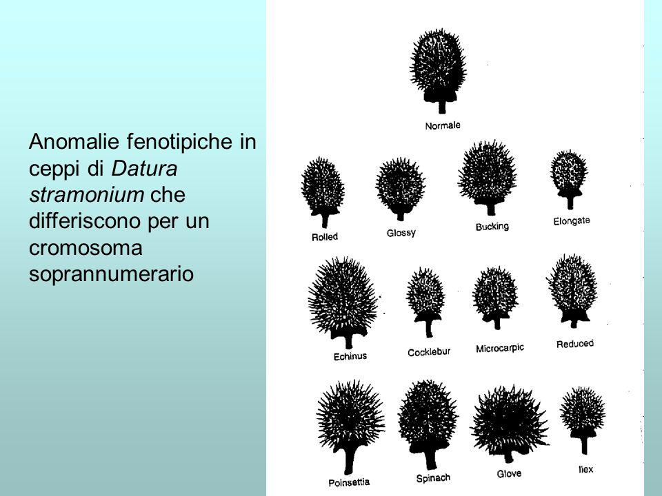 Anomalie fenotipiche in ceppi di Datura stramonium che differiscono per un cromosoma soprannumerario