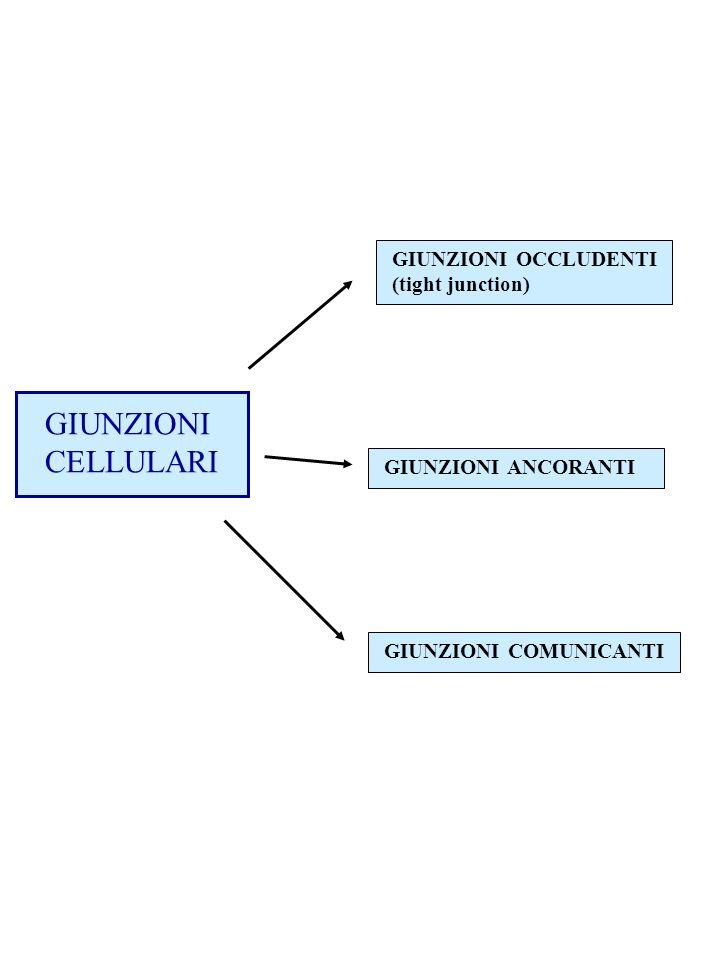 GIUNZIONI CELLULARI GIUNZIONI OCCLUDENTI (tight junction)