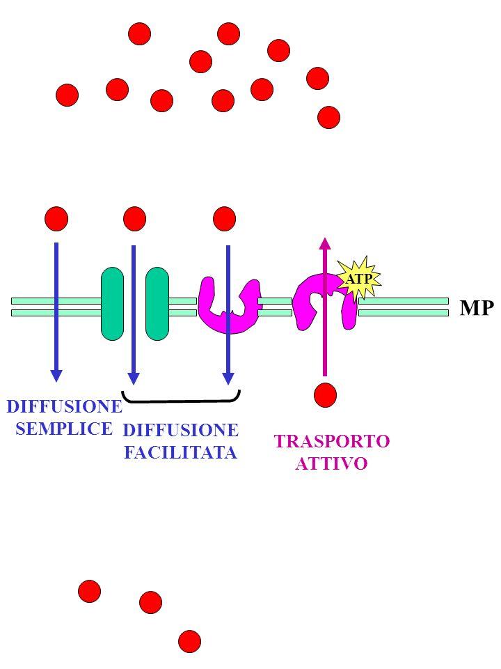 ATP MP DIFFUSIONE SEMPLICE DIFFUSIONE FACILITATA TRASPORTO ATTIVO