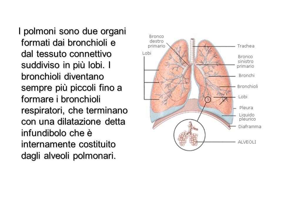 I polmoni sono due organi formati dai bronchioli e dal tessuto connettivo suddiviso in più lobi.