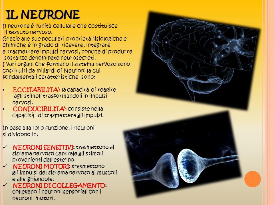 IL NEURONE Il neurone è l unità cellulare che costituisce