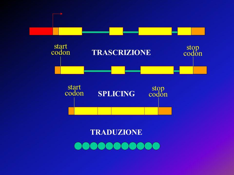 start codon stop TRASCRIZIONE start codon stop SPLICING TRADUZIONE