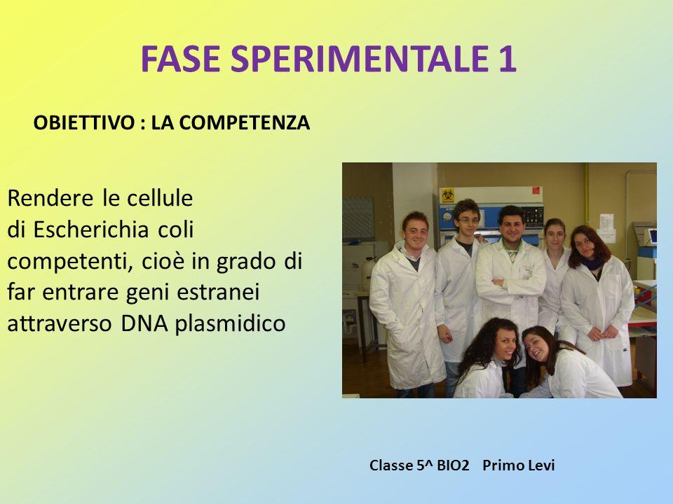 FASE SPERIMENTALE 1 Rendere le cellule di Escherichia coli