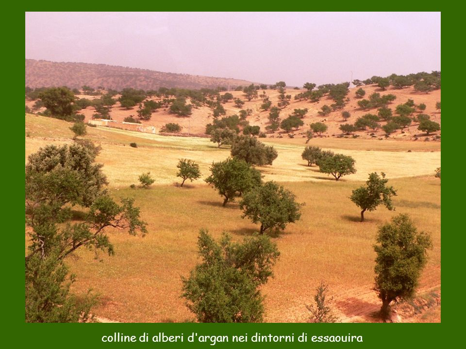 colline di alberi d argan nei dintorni di essaouira