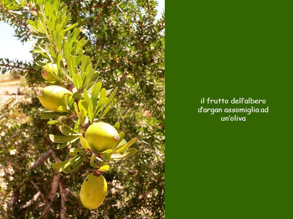 il frutto dell'albero d'argan assomiglia ad un'oliva