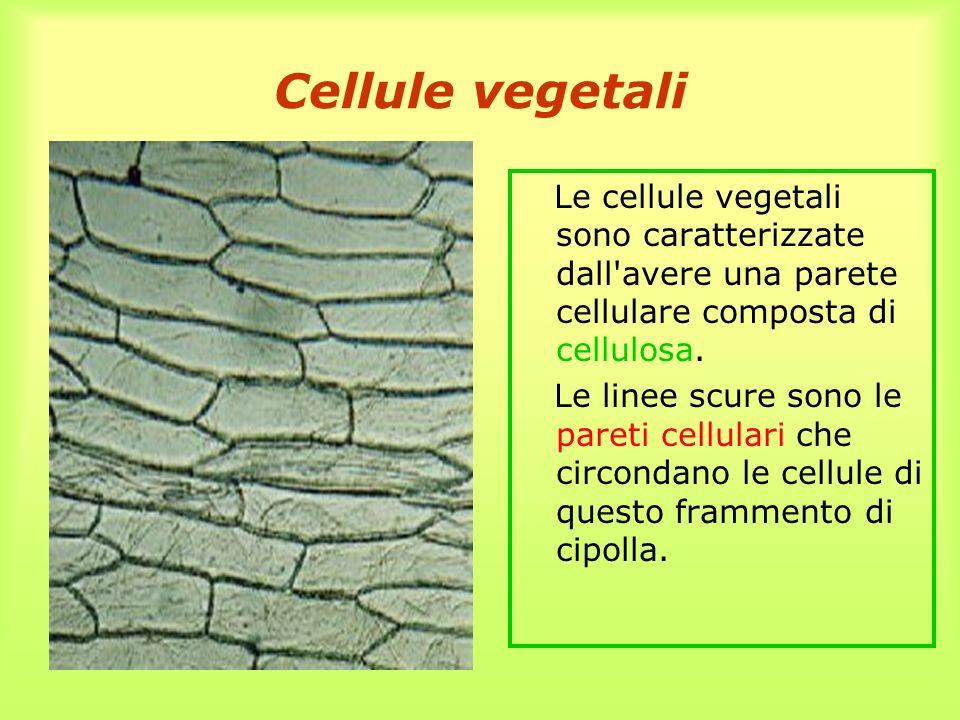 Cellule vegetali Le cellule vegetali sono caratterizzate dall avere una parete cellulare composta di cellulosa.
