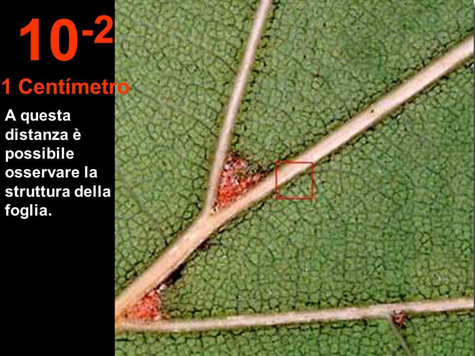 10-2 1 Centímetro A questa distanza è possibile osservare la struttura della foglia.