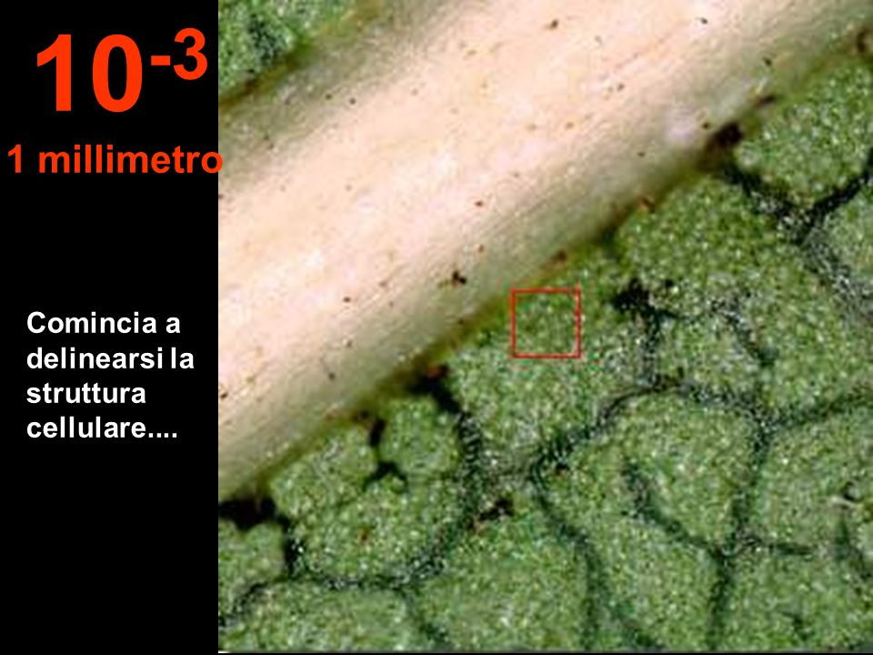 10-3 1 millimetro Comincia a delinearsi la struttura cellulare....