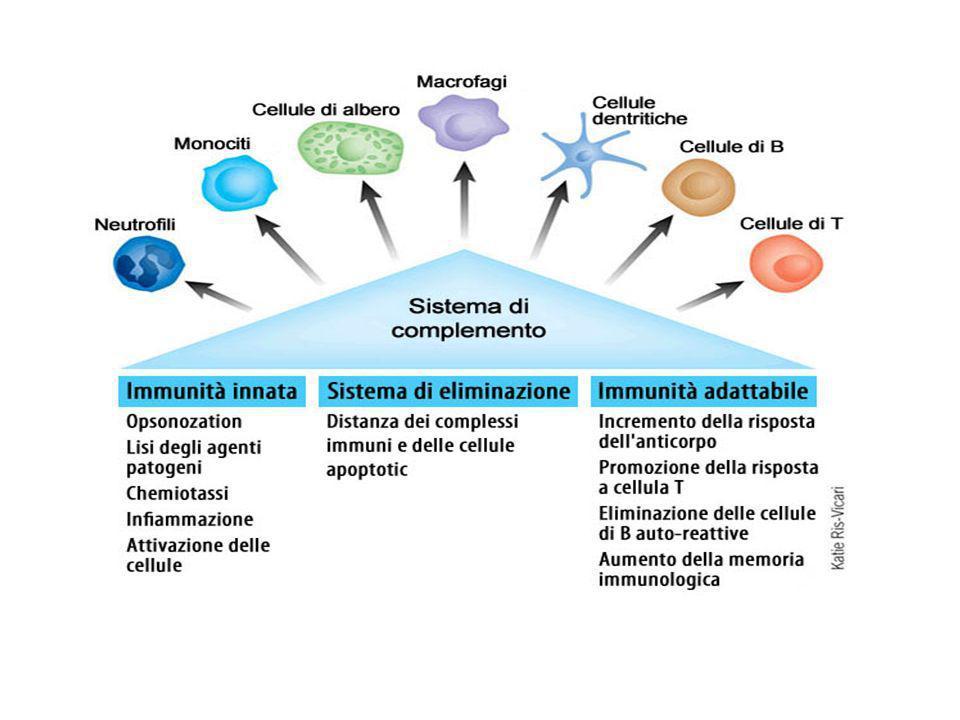Esistono tre diverse vie attraverso cui può essere attivato il complemento. Due di