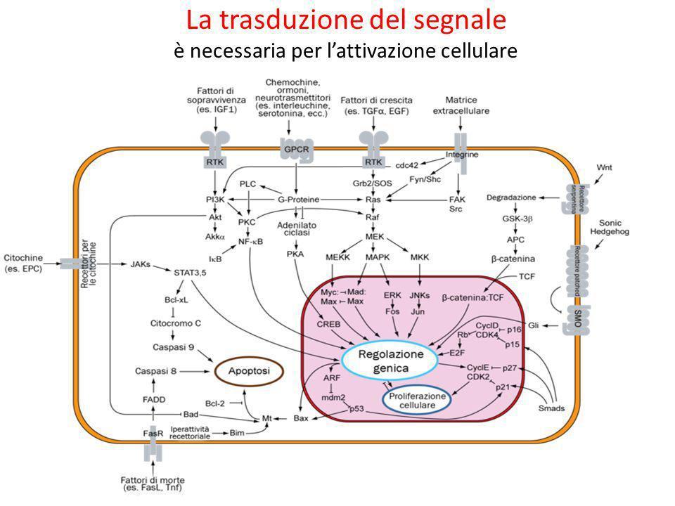La trasduzione del segnale è necessaria per l'attivazione cellulare