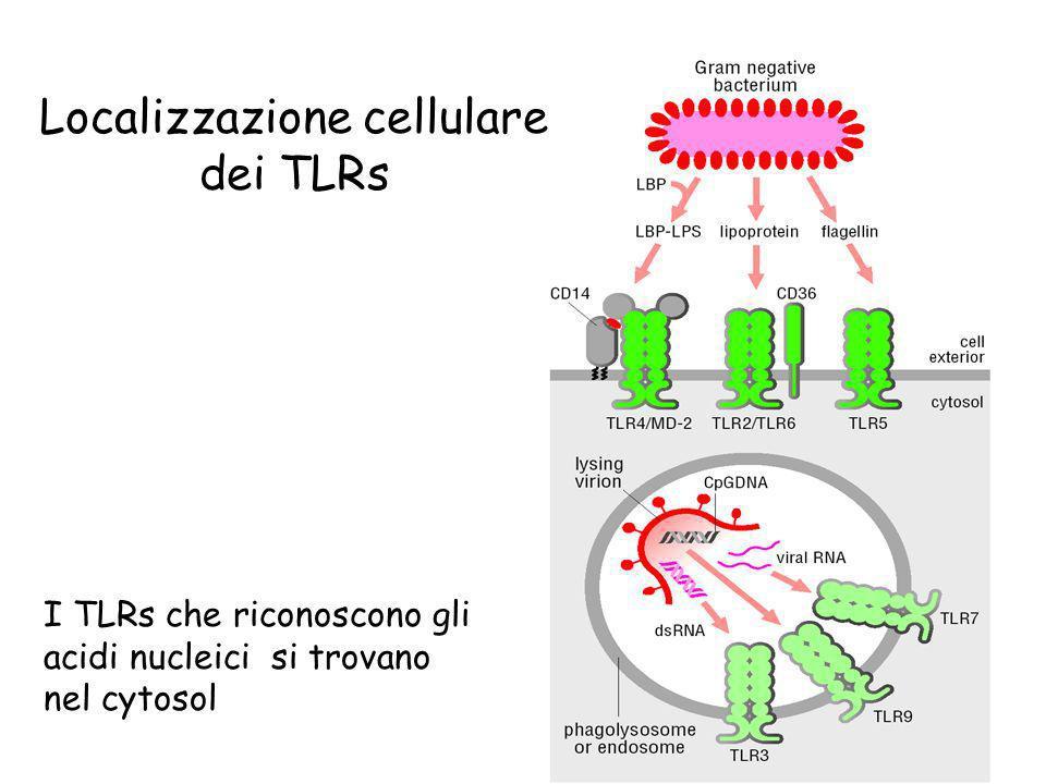 Localizzazione cellulare dei TLRs