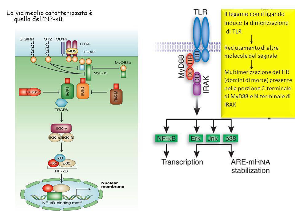 Il legame con il ligando induce la dimerizzazione di TLR