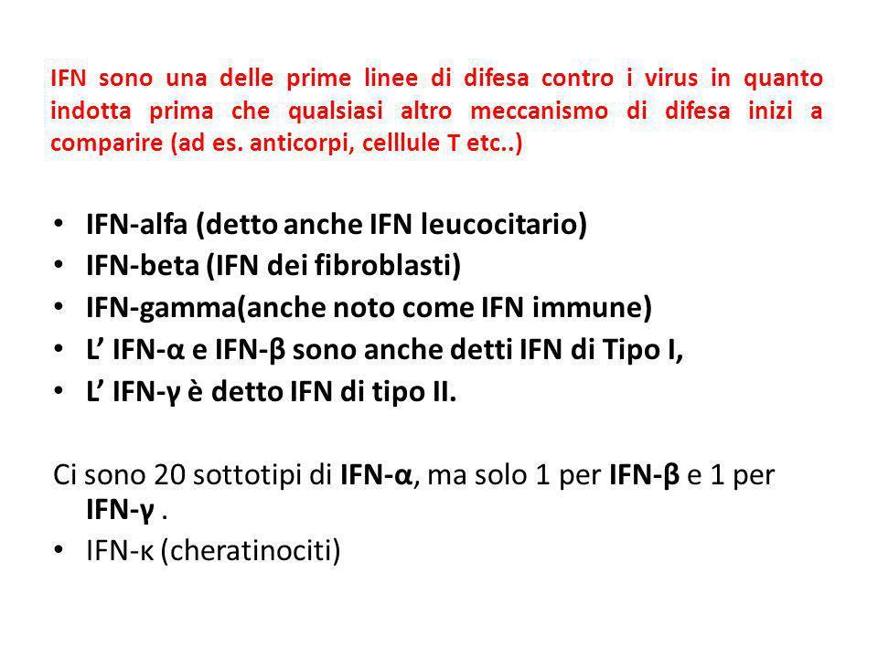 IFN-alfa (detto anche IFN leucocitario) IFN-beta (IFN dei fibroblasti)