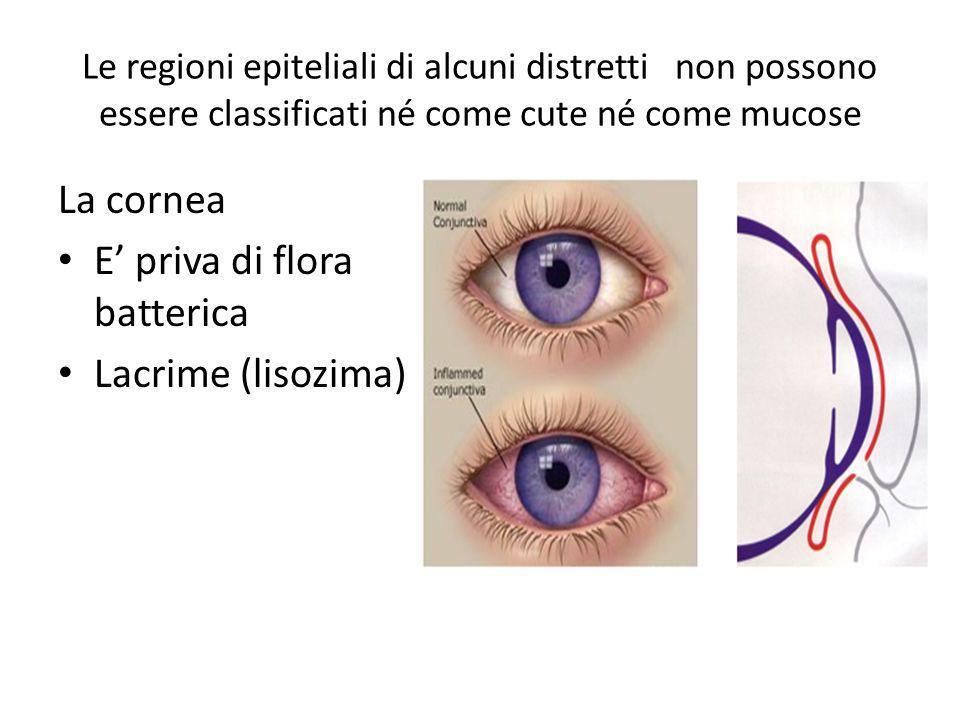 E' priva di flora batterica Lacrime (lisozima)