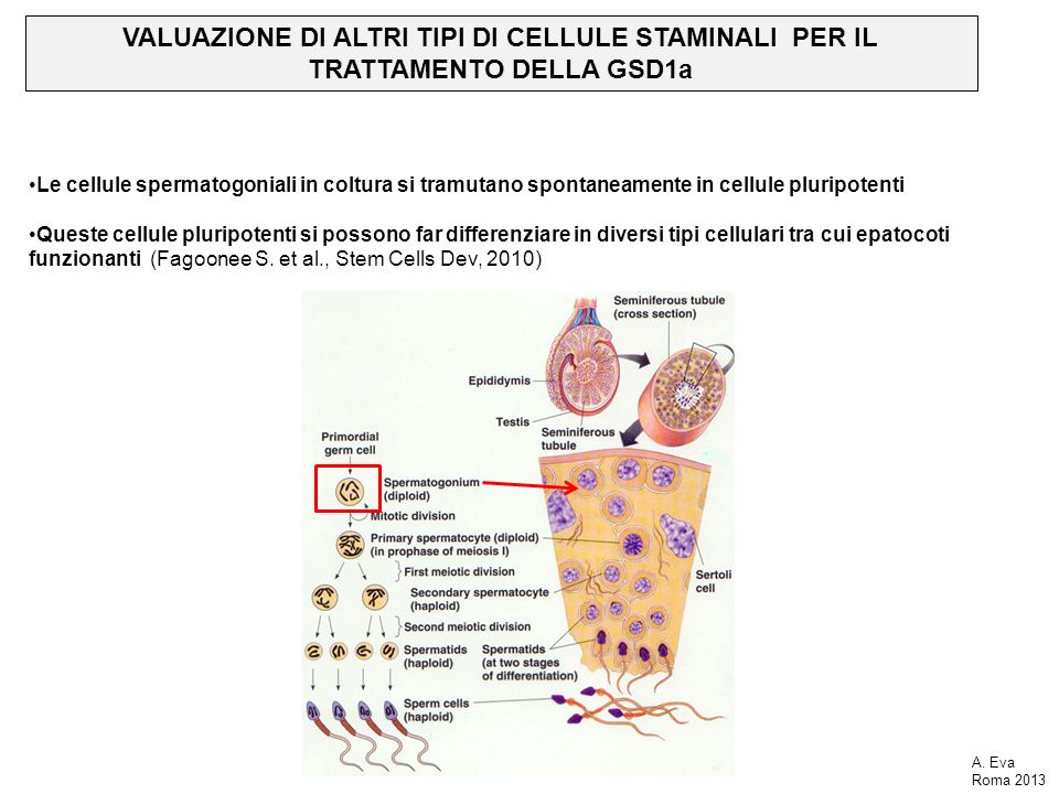 VALUAZIONE DI ALTRI TIPI DI CELLULE STAMINALI PER IL TRATTAMENTO DELLA GSD1a