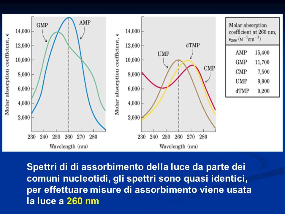 Spettri di di assorbimento della luce da parte dei comuni nucleotidi, gli spettri sono quasi identici, per effettuare misure di assorbimento viene usata la luce a 260 nm