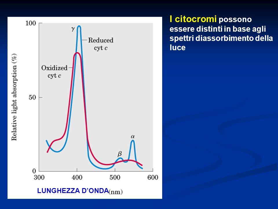 I citocromi possono essere distinti in base agli spettri diassorbimento della luce LUNGHEZZA D'ONDA