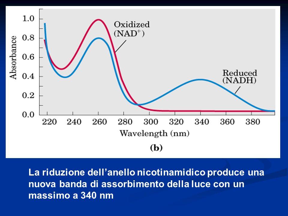La riduzione dell'anello nicotinamidico produce una nuova banda di assorbimento della luce con un massimo a 340 nm