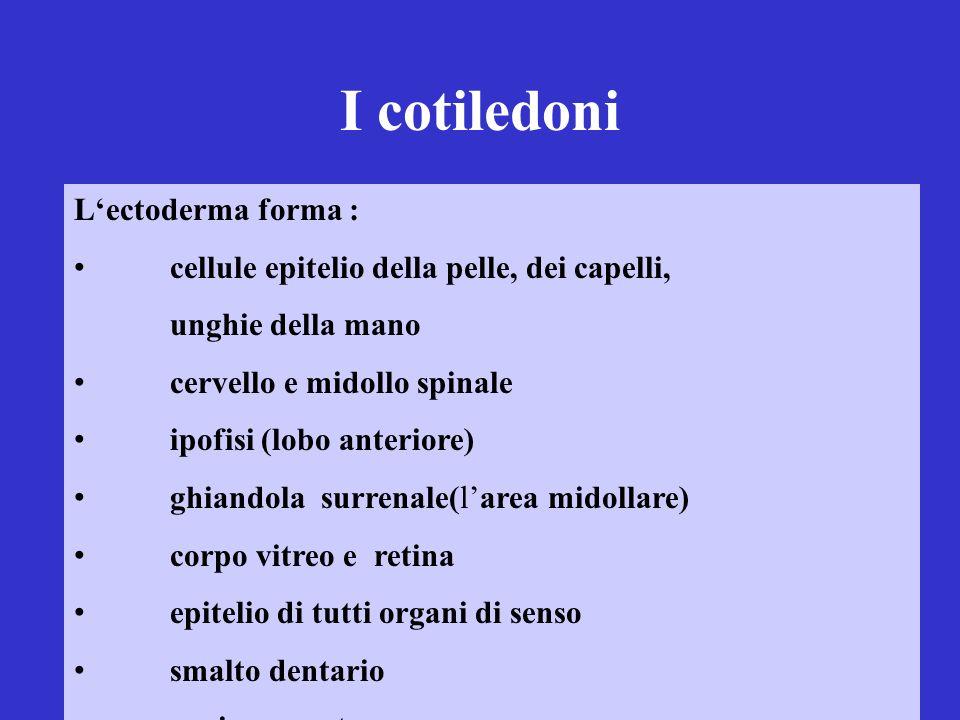I cotiledoni L'ectoderma forma :