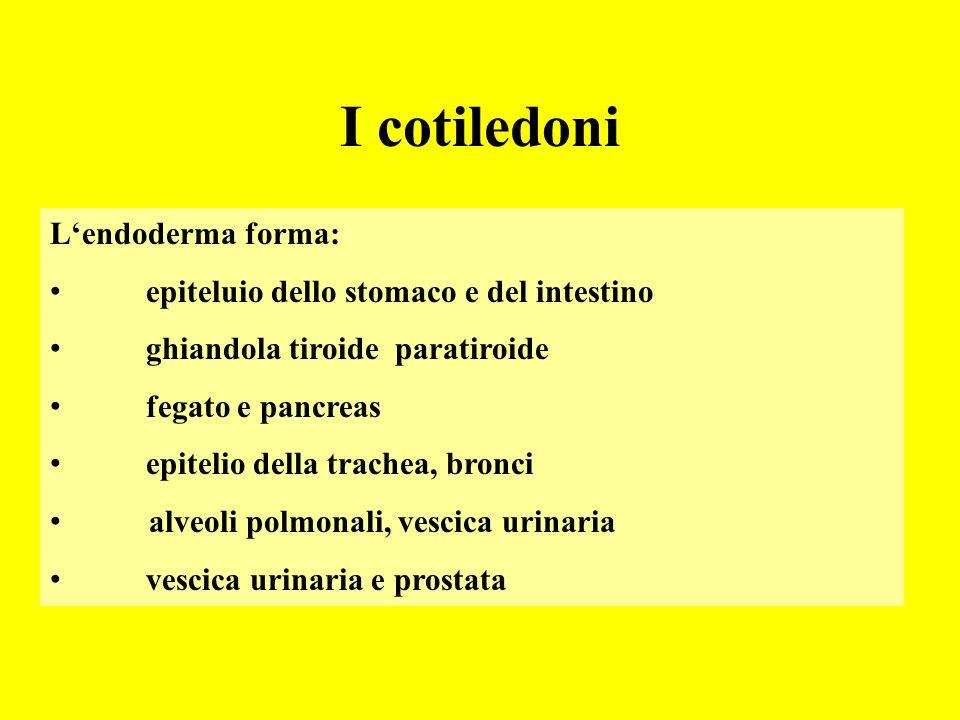 I cotiledoni L'endoderma forma: