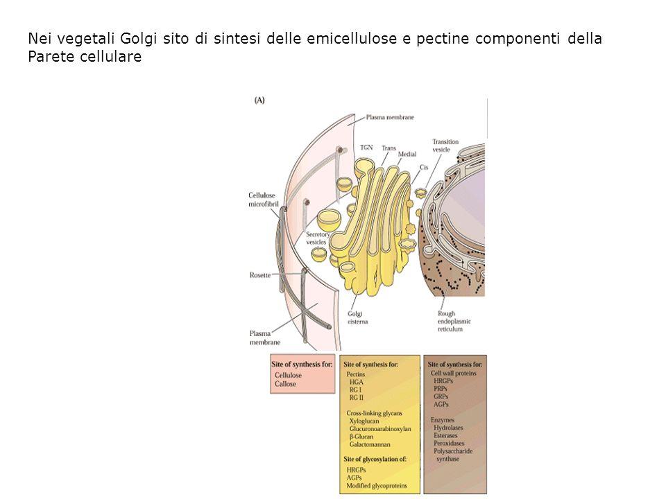 Nei vegetali Golgi sito di sintesi delle emicellulose e pectine componenti della