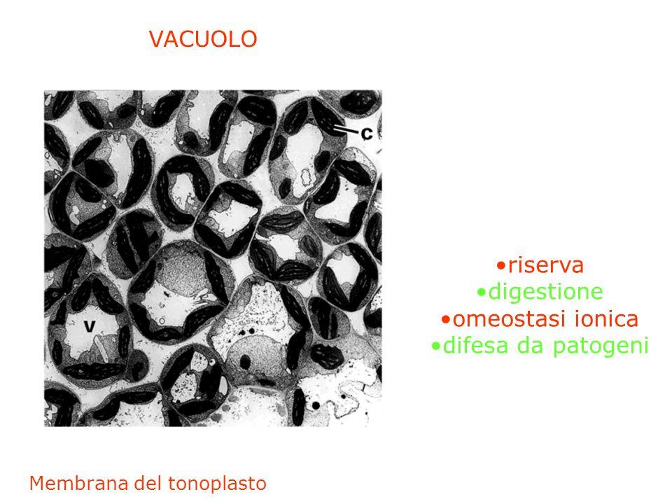 VACUOLO riserva digestione omeostasi ionica difesa da patogeni