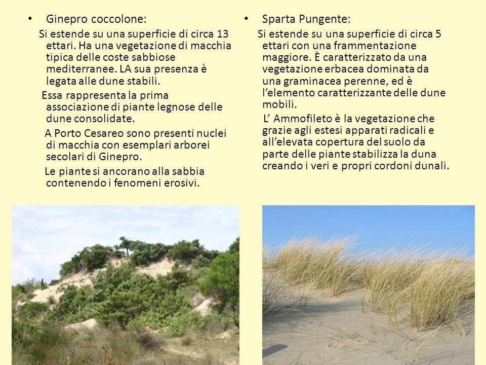 Ginepro coccolone: Sparta Pungente: