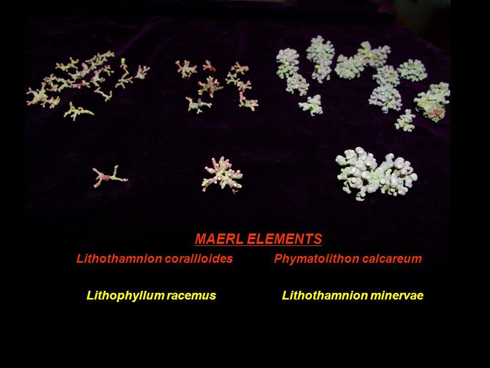 MAERL ELEMENTS Lithothamnion corallioides Phymatolithon calcareum