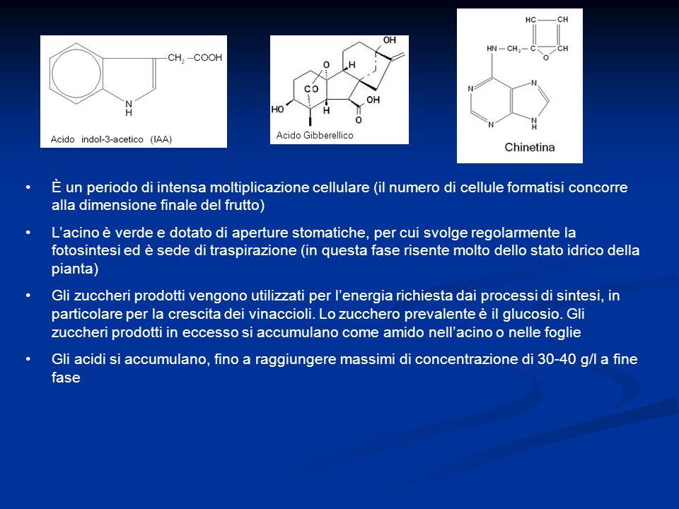 Acido Gibberellico È un periodo di intensa moltiplicazione cellulare (il numero di cellule formatisi concorre alla dimensione finale del frutto)