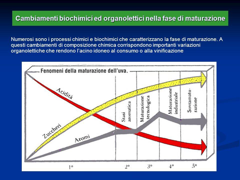 Cambiamenti biochimici ed organolettici nella fase di maturazione