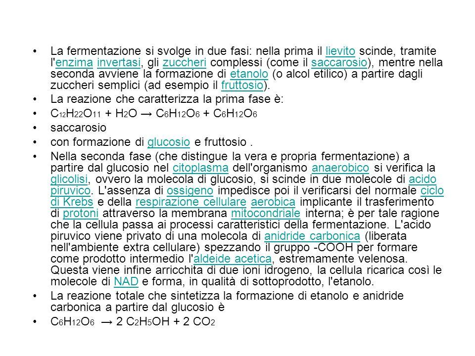 La fermentazione si svolge in due fasi: nella prima il lievito scinde, tramite l enzima invertasi, gli zuccheri complessi (come il saccarosio), mentre nella seconda avviene la formazione di etanolo (o alcol etilico) a partire dagli zuccheri semplici (ad esempio il fruttosio).