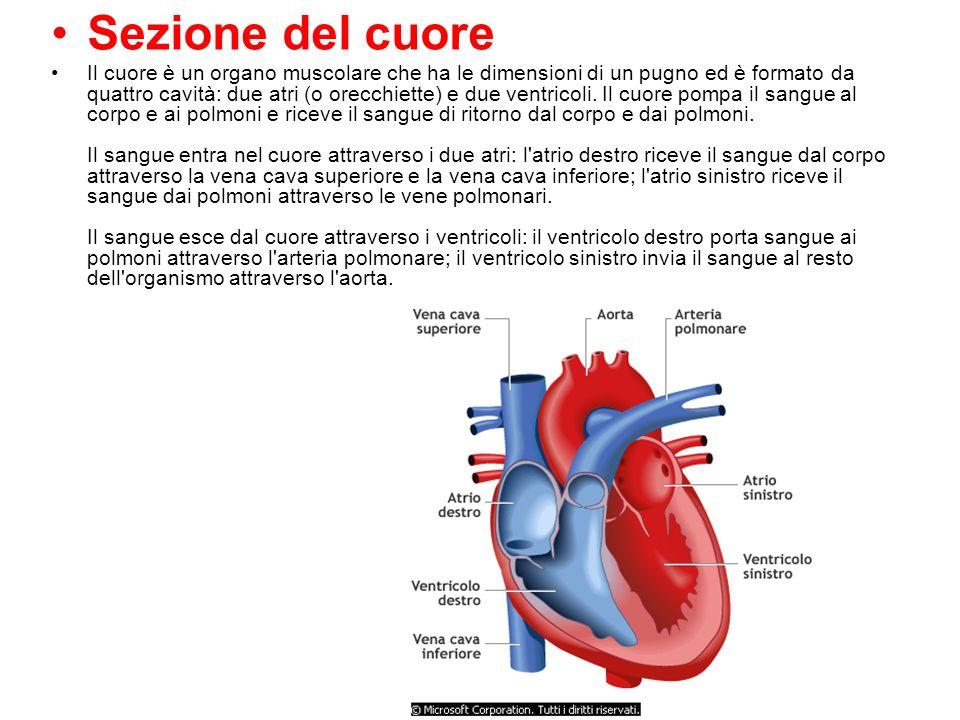 Favoloso Il cuore è una pompa doppia che spinge il sangue attraverso i due  ID71
