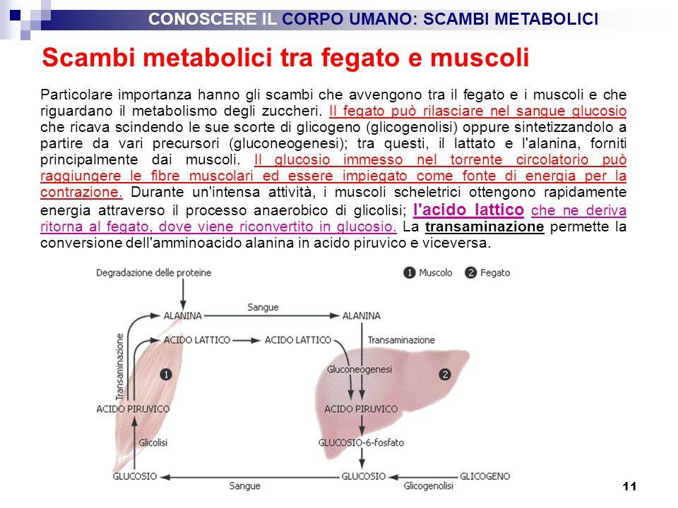 Scambi metabolici tra fegato e muscoli
