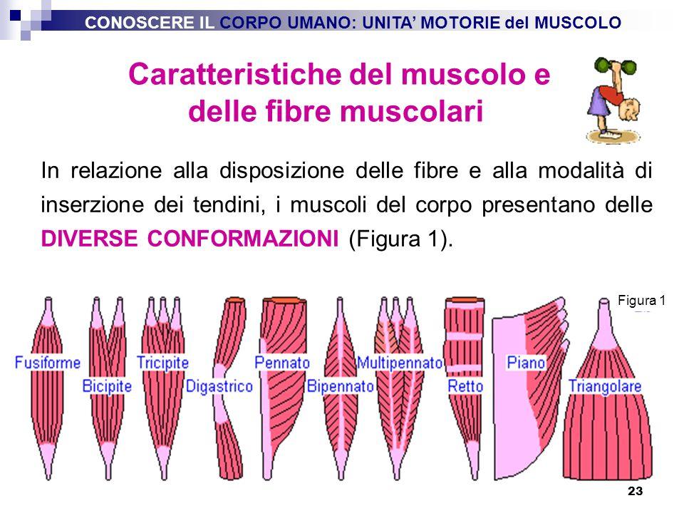 Caratteristiche del muscolo e delle fibre muscolari
