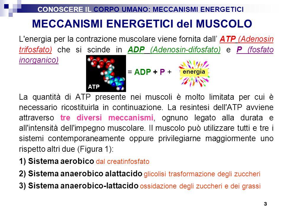 MECCANISMI ENERGETICI del MUSCOLO