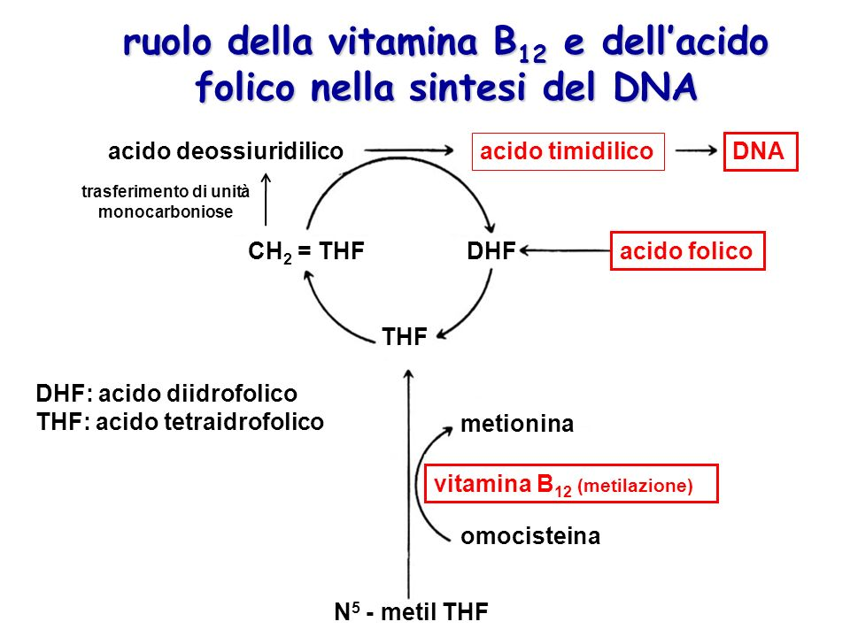 ruolo della vitamina B12 e dell'acido folico nella sintesi del DNA