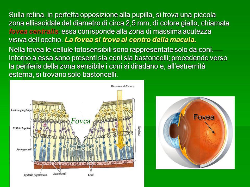 Sulla retina, in perfetta opposizione alla pupilla, si trova una piccola zona ellissoidale del diametro di circa 2,5 mm, di colore giallo, chiamata fovea centralis: essa corrisponde alla zona di massima acutezza visiva dell'occhio. La fovea si trova al centro della macula.