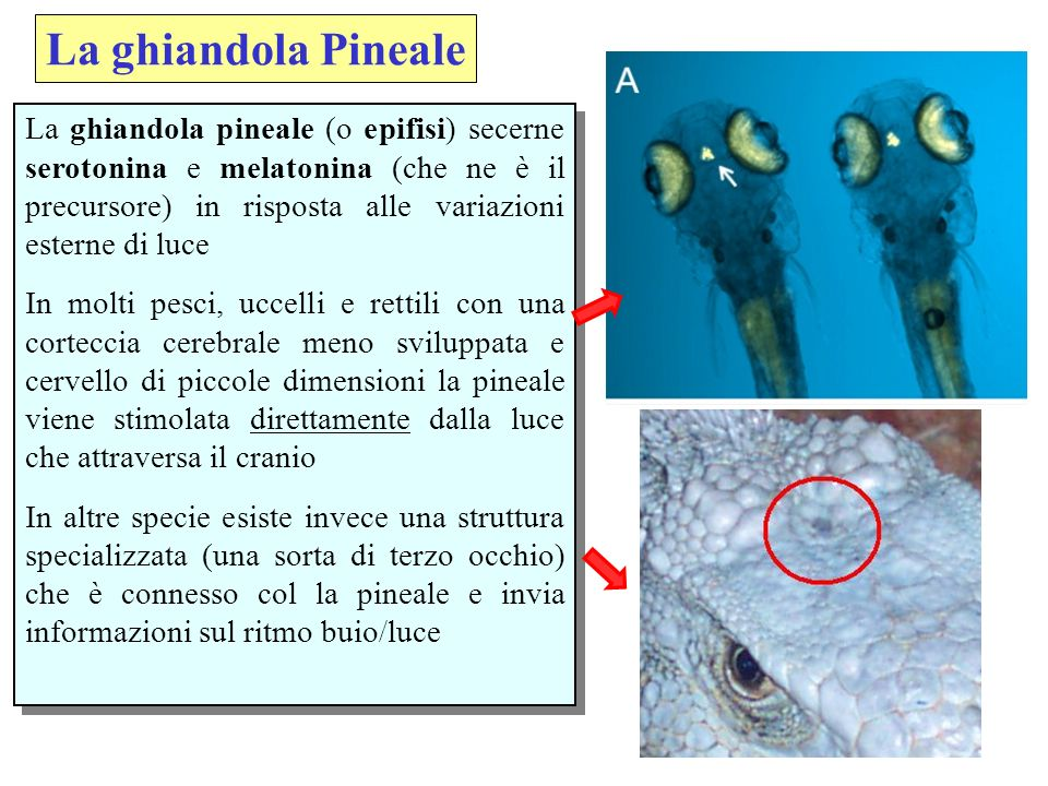 La ghiandola Pineale