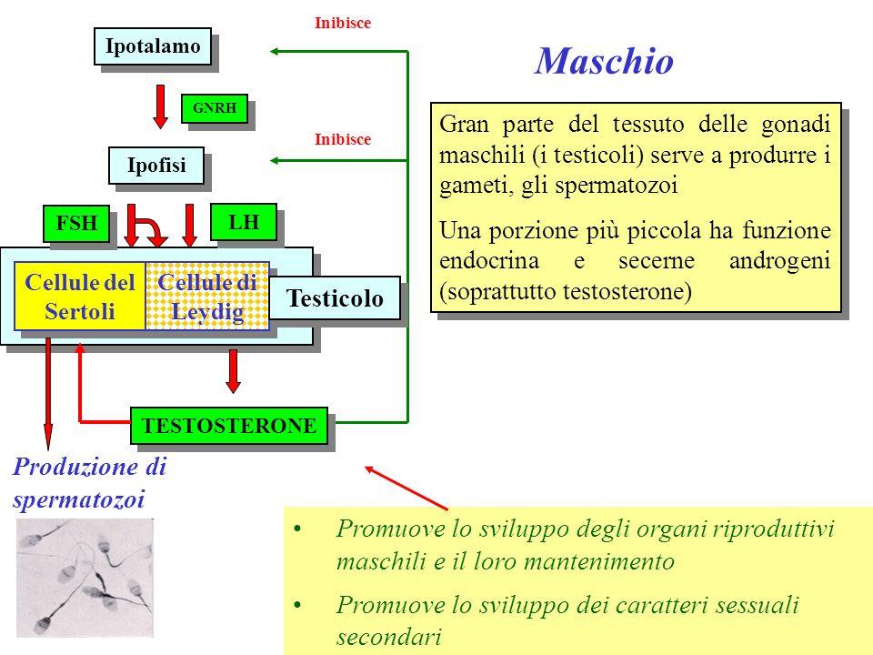 Maschio Testicolo Produzione di spermatozoi