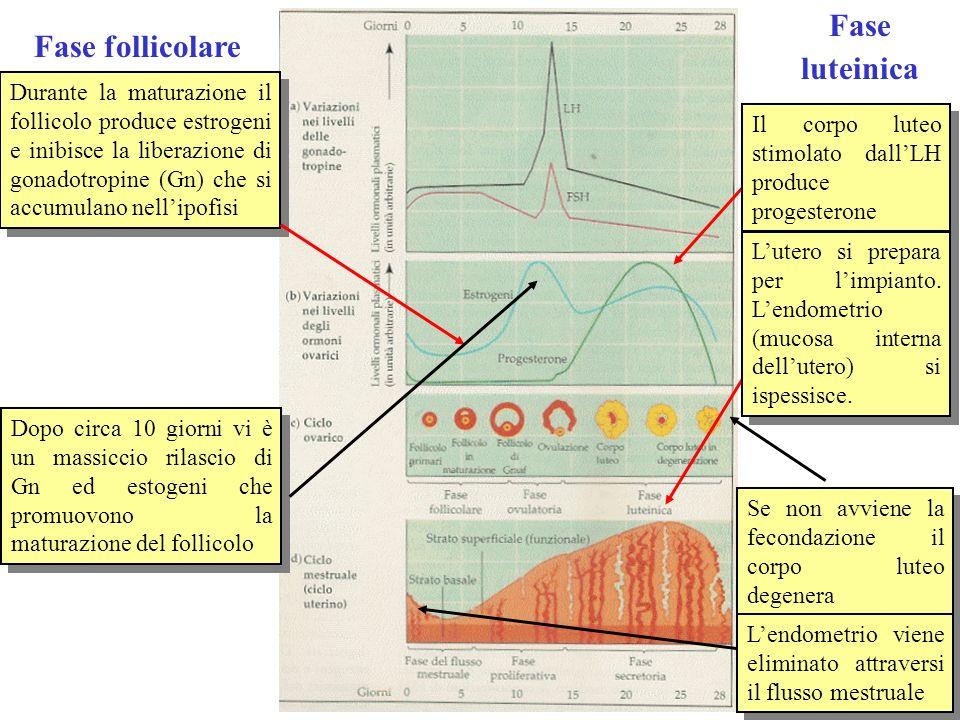 Fase luteinica Fase follicolare