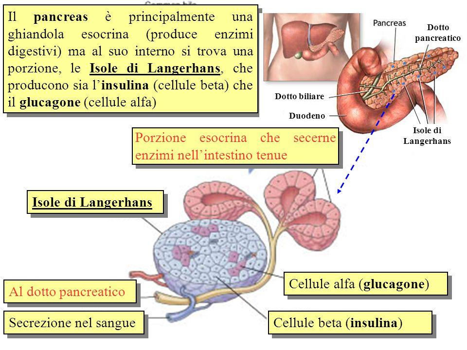 Porzione esocrina che secerne enzimi nell'intestino tenue