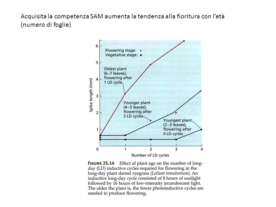 Acquisita la competenza SAM aumenta la tendenza alla fioritura con l'età