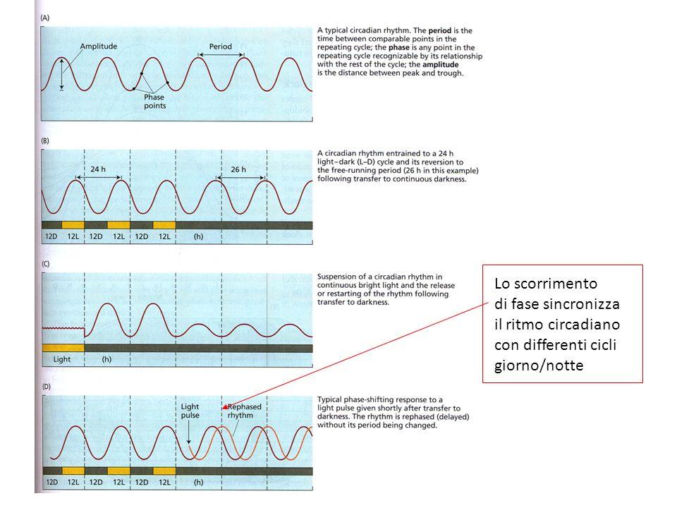 Lo scorrimento di fase sincronizza il ritmo circadiano con differenti cicli giorno/notte