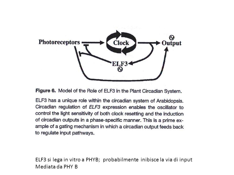 ELF3 si lega in vitro a PHYB; probabilmente inibisce la via di input